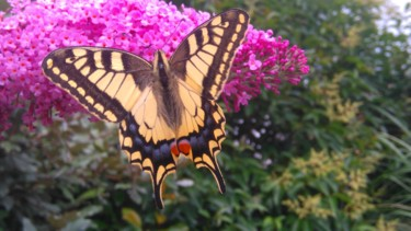 Splendide Machaon
