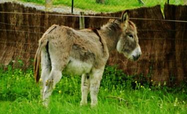 Petit âne gris