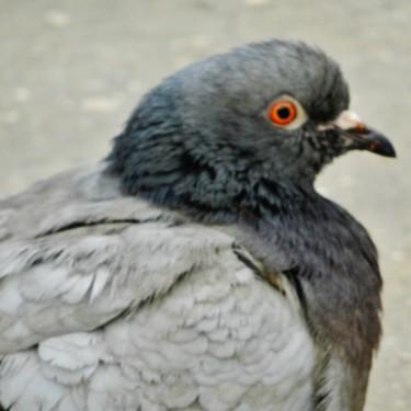 Et les pigeons arrivent - 3