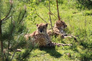 Le repos des guépards