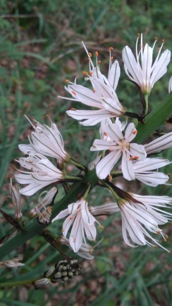 Léger parfum des Asphodeles (2)